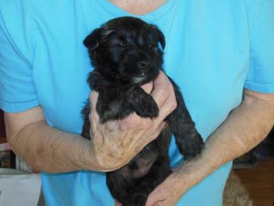 male pup #2 BLK-BRDL - LeMieux