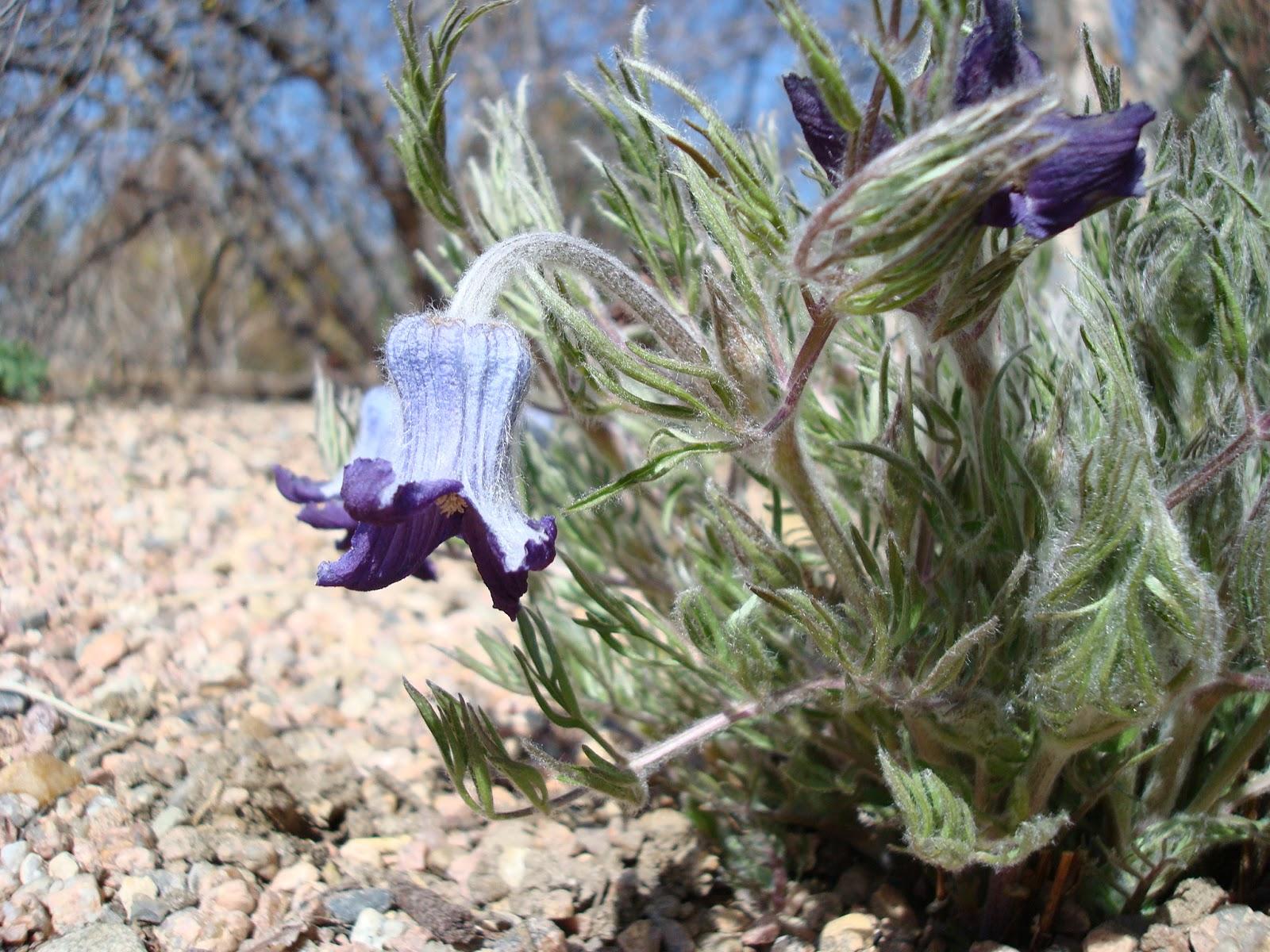 Clematis Hirsutissima Seed Clematis Hirsutissima 39 Garden