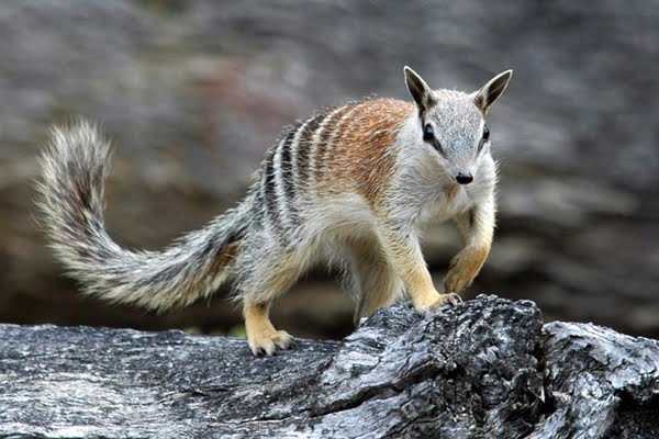 Numbat Animal Facts Photos on all about numbats