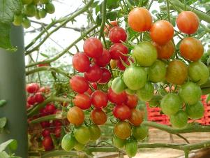 How To Cultivate Tomato Palnts