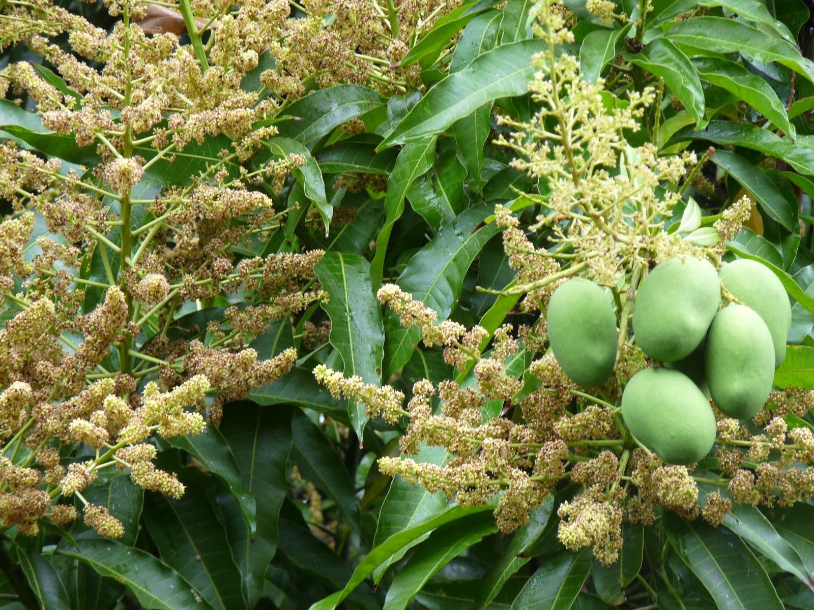persil et oignon pays manguiers en fleurs. Black Bedroom Furniture Sets. Home Design Ideas