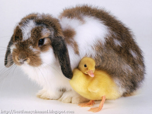 Rabbit and Duckling
