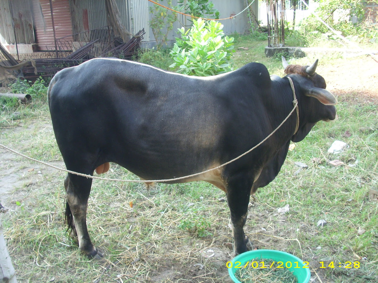 Eid-Ul-Adha( Qurbani Eid): Cow for Qurbani