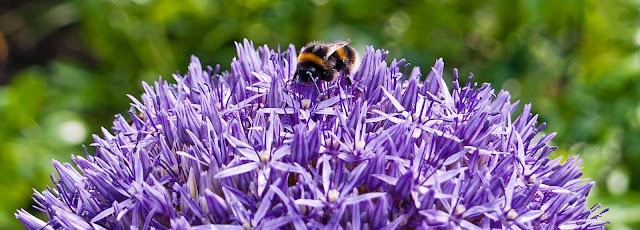 bees echinops