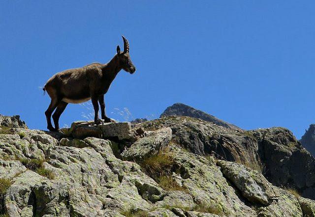 Ibex (bouquetin) near Col de Fenestre