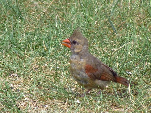 northern cardinal up close