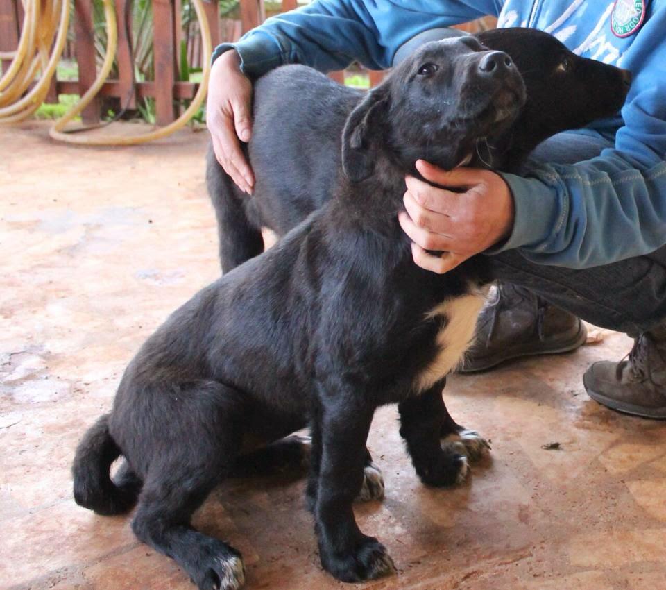 cane cucciola cucciolo taglia media cane nere adozione