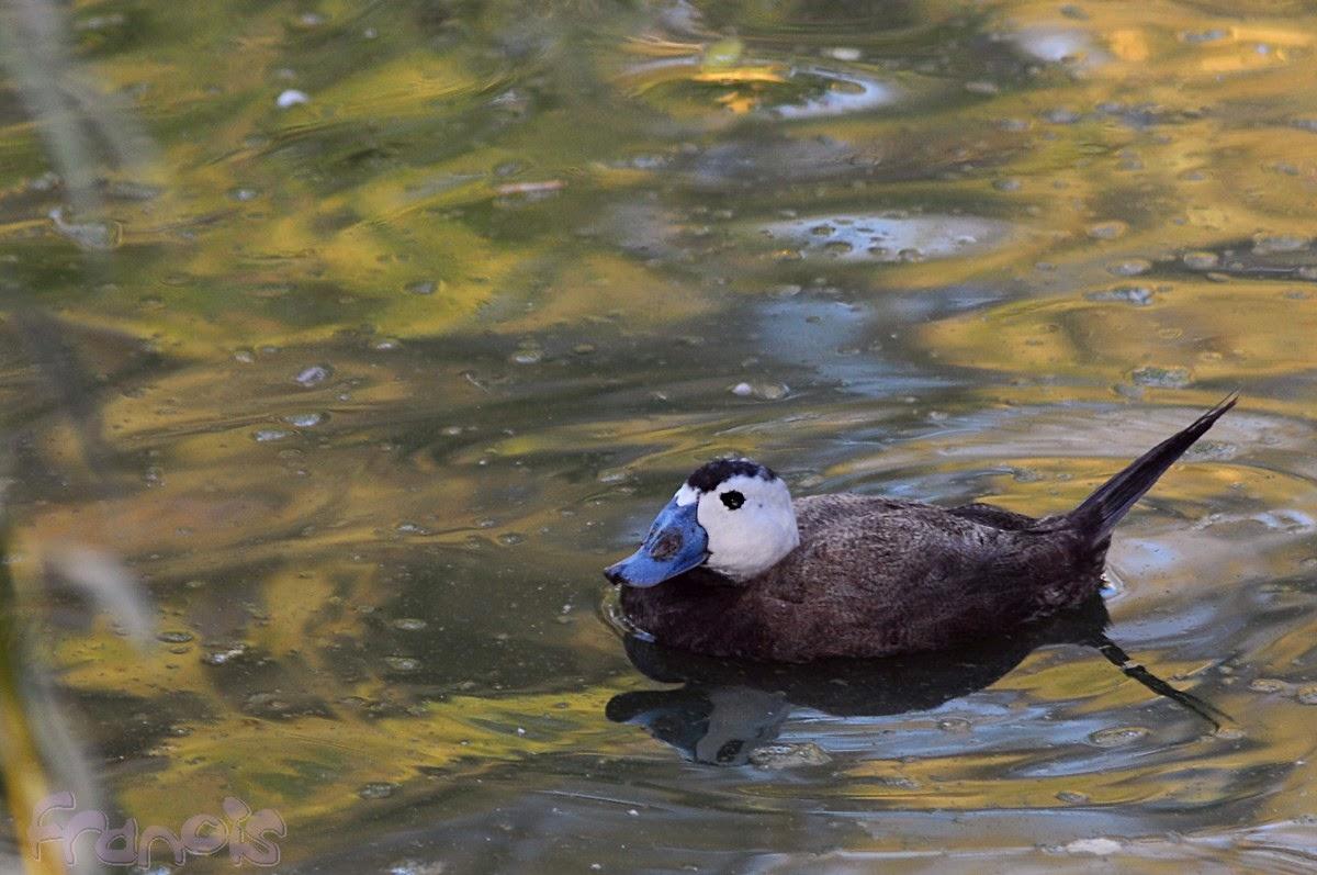 Malvasía cabeciblanca (Oxyura leucocephala) White-headed Duck