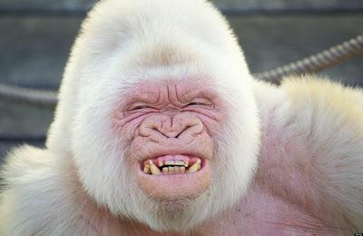 'Snowflake' The Albino Gorilla
