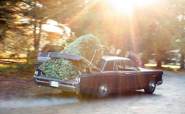 Car with two Christmas trees tied to the trunk