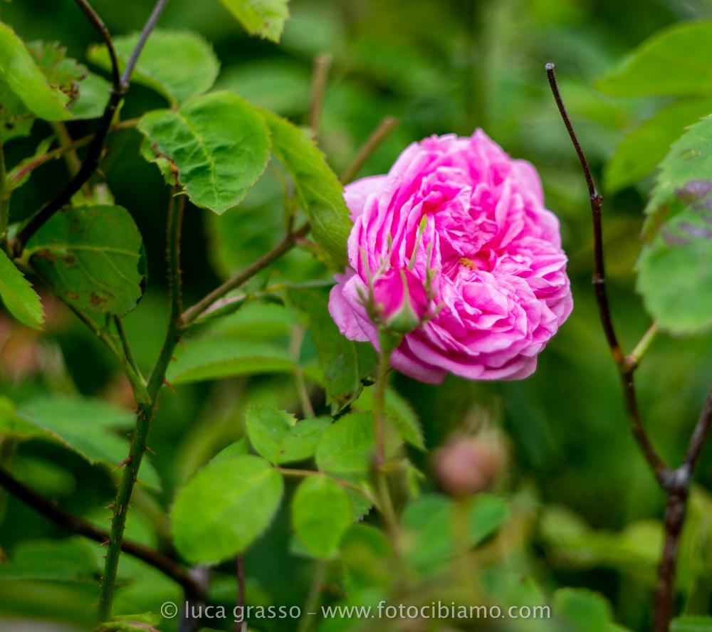 Fotocibiamo sciroppo di rose un vero toccasana for Rosa pianta