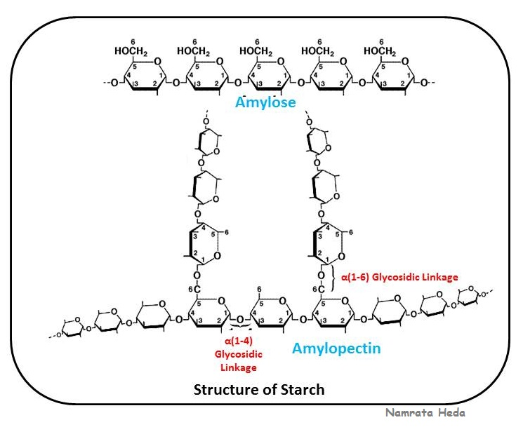 biology starch Starches starches are polymers of glucose two types are found: amylose  consists of linear, unbranched chains of several hundred.