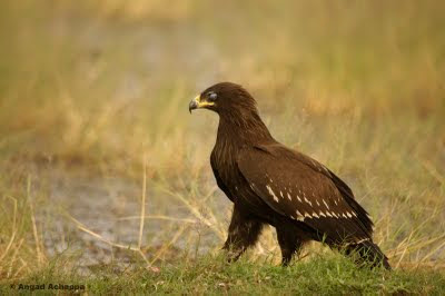 Greater Spotted Eagle nictitating membrane display