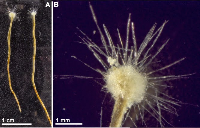 http://sciencythoughts.blogspot.co.uk/2014/10/a-giant-agglutinated-foraminiferan-from.html