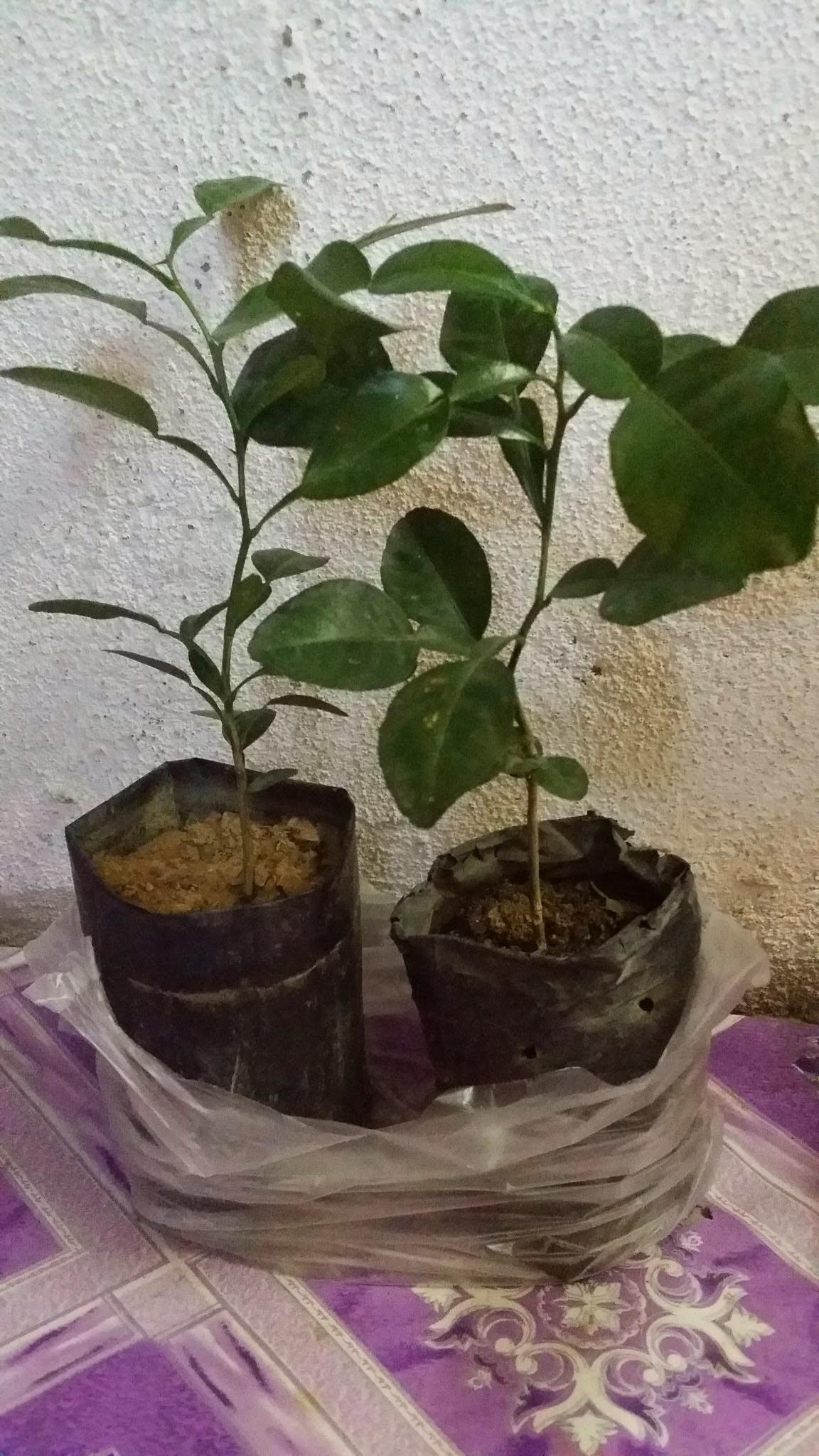 anak pokok daun limau purut, beli pokok limau, benih poko limau purut, daun limau purut, harga pokok limau