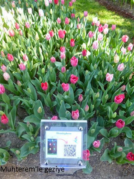 Hemisphere tulip