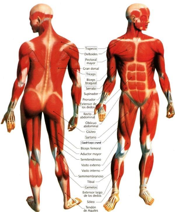 Dibujo Sistema Muscular del Cuerpo Humano