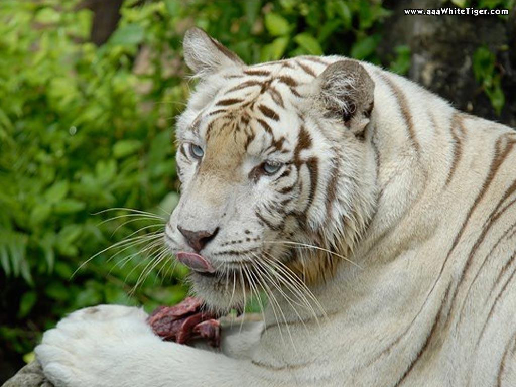 http://3.bp.blogspot.com/-6dlR9o1HnIc/T-AQvE_gvII/AAAAAAAAABE/hkBTmJp6dmg/s1600/white-tiger-eating-wallpaper.jpg