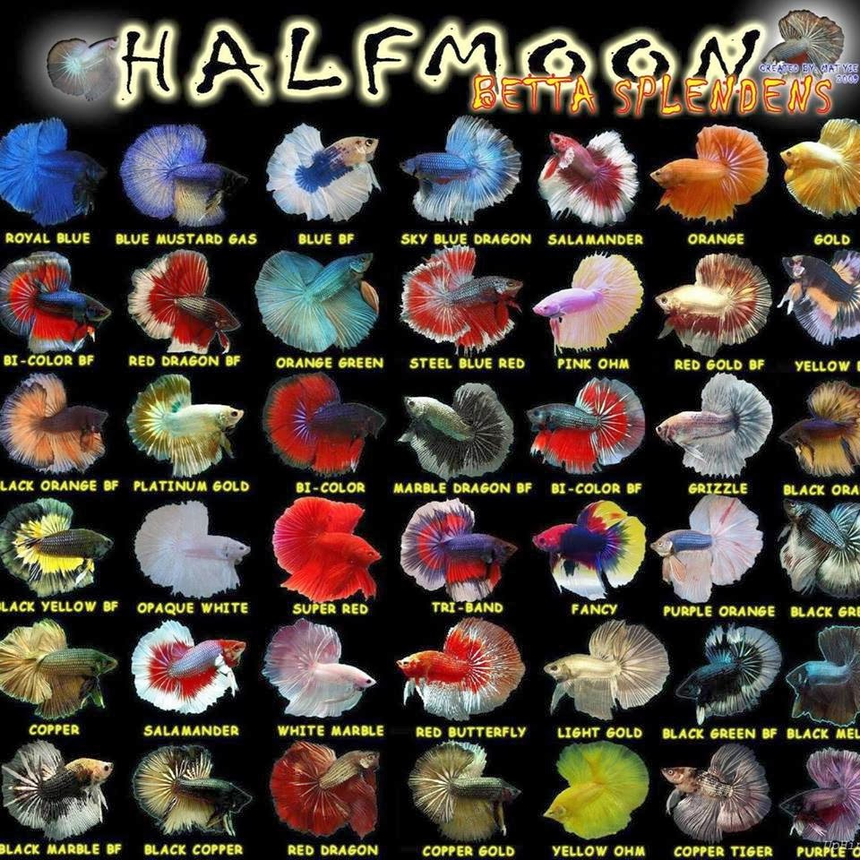 all about betta fish types of halfmoon betta fish