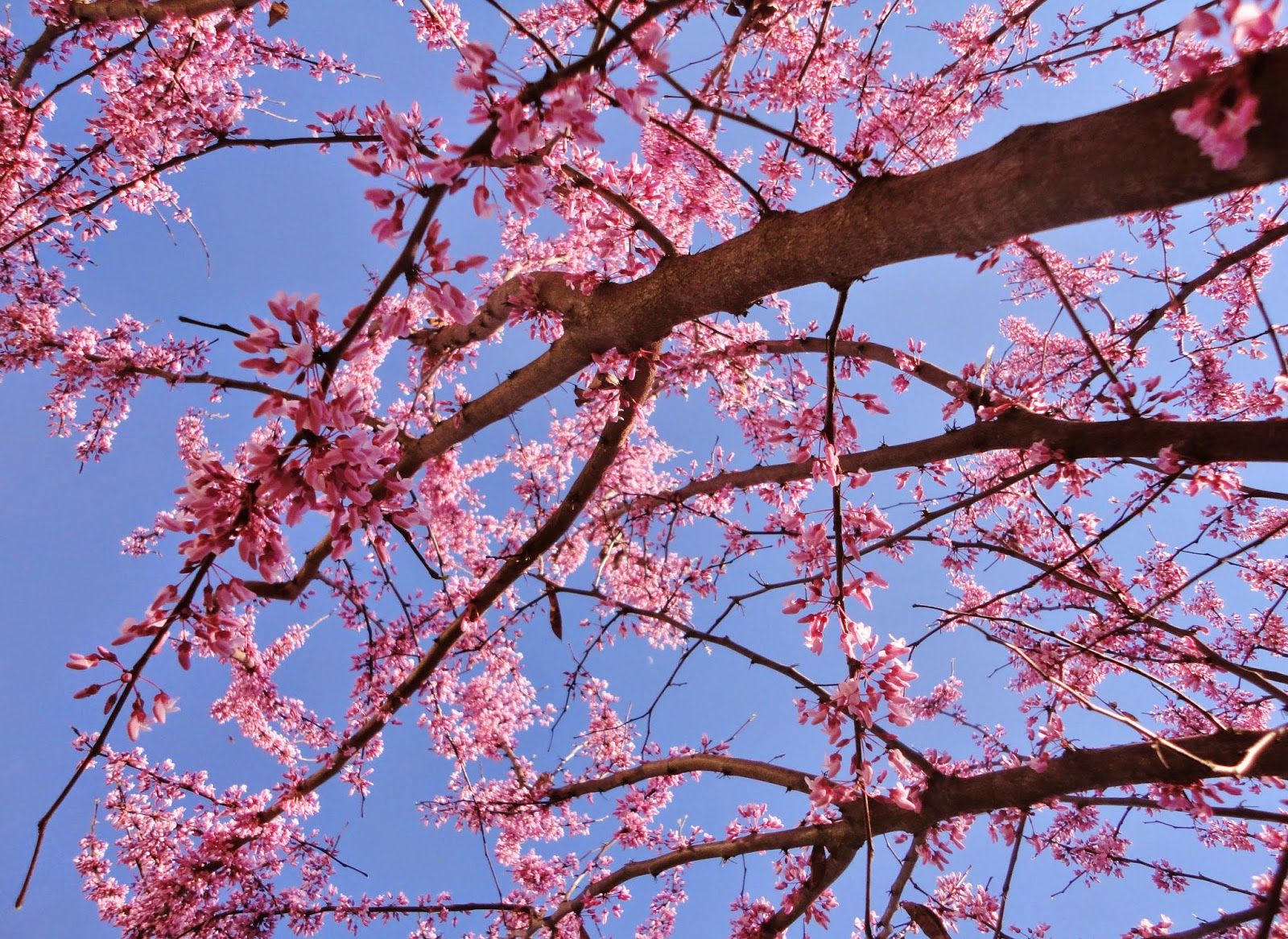 photo of a redbud tree