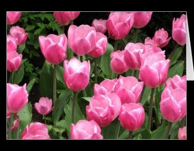 Spring flowers pink tulips