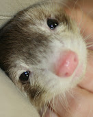 Oh you silly little Ferret.....