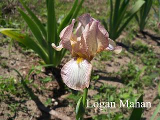 Logan Mahan Iris