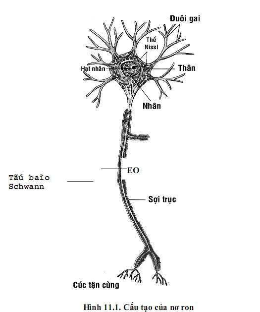 Cấu tạo tế bào thần kinh