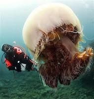 Ubur-ubur Mengancam Kehidupan Laut
