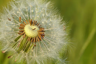 Les avantages de l'herbe de pissenlit