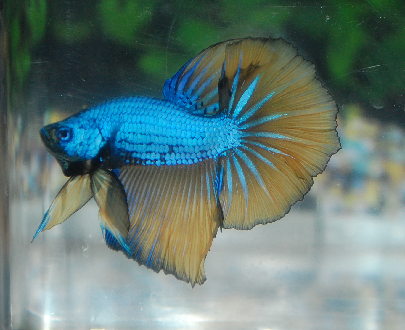 Betta fish afira halfmoon blue mustard dragon sold out for Halfmoon betta fish
