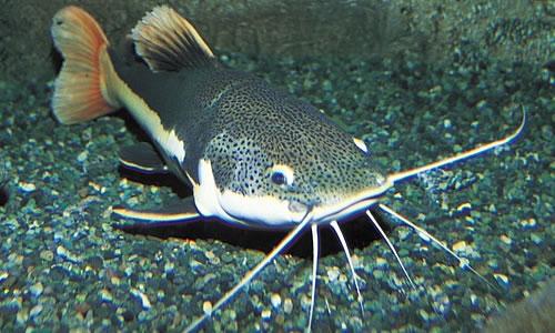 Catfish Animal Wildlife