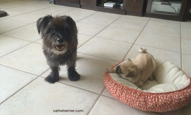Oz the Terrier, guardian of puppy Pug Louie