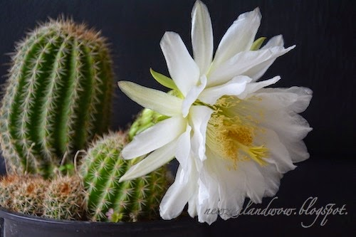 Beautiful Cactus Flower
