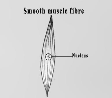 DRAW IT NEAT : How to draw Muscle cells