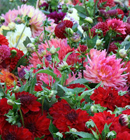 Multiple varieties in Lynch Creek's dahlia field