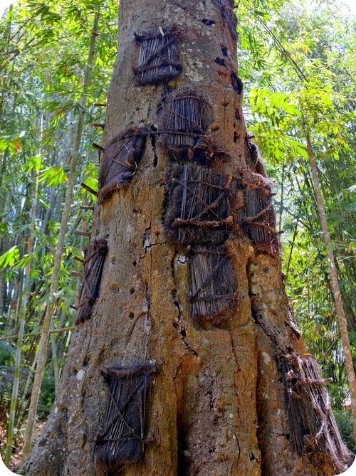 Pohon Tarra Toraja