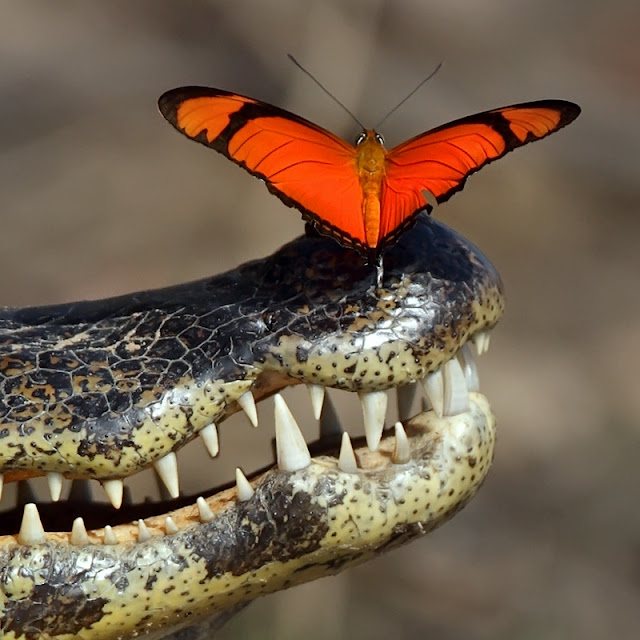 Butterfly sitting on nose of Brazilian cayman
