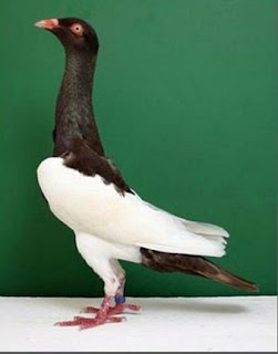Merpati English Magpie