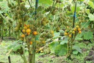 La naranjilla una fruta para la industrialización
