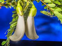 6 Manfaat Bunga Turi Untuk Kesehatan Tubuh