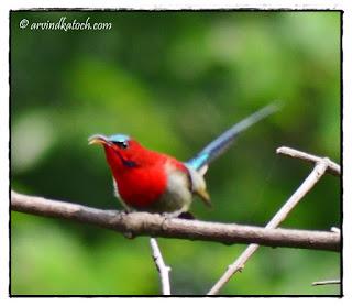 Crimson Sunbird, Sunbird,