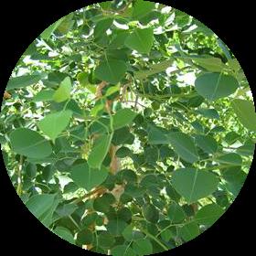 rosewood, obat herbal jantung lemah