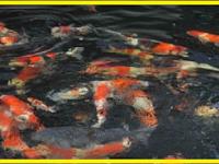 Kriteria Ikan Koi Untuk Indukan