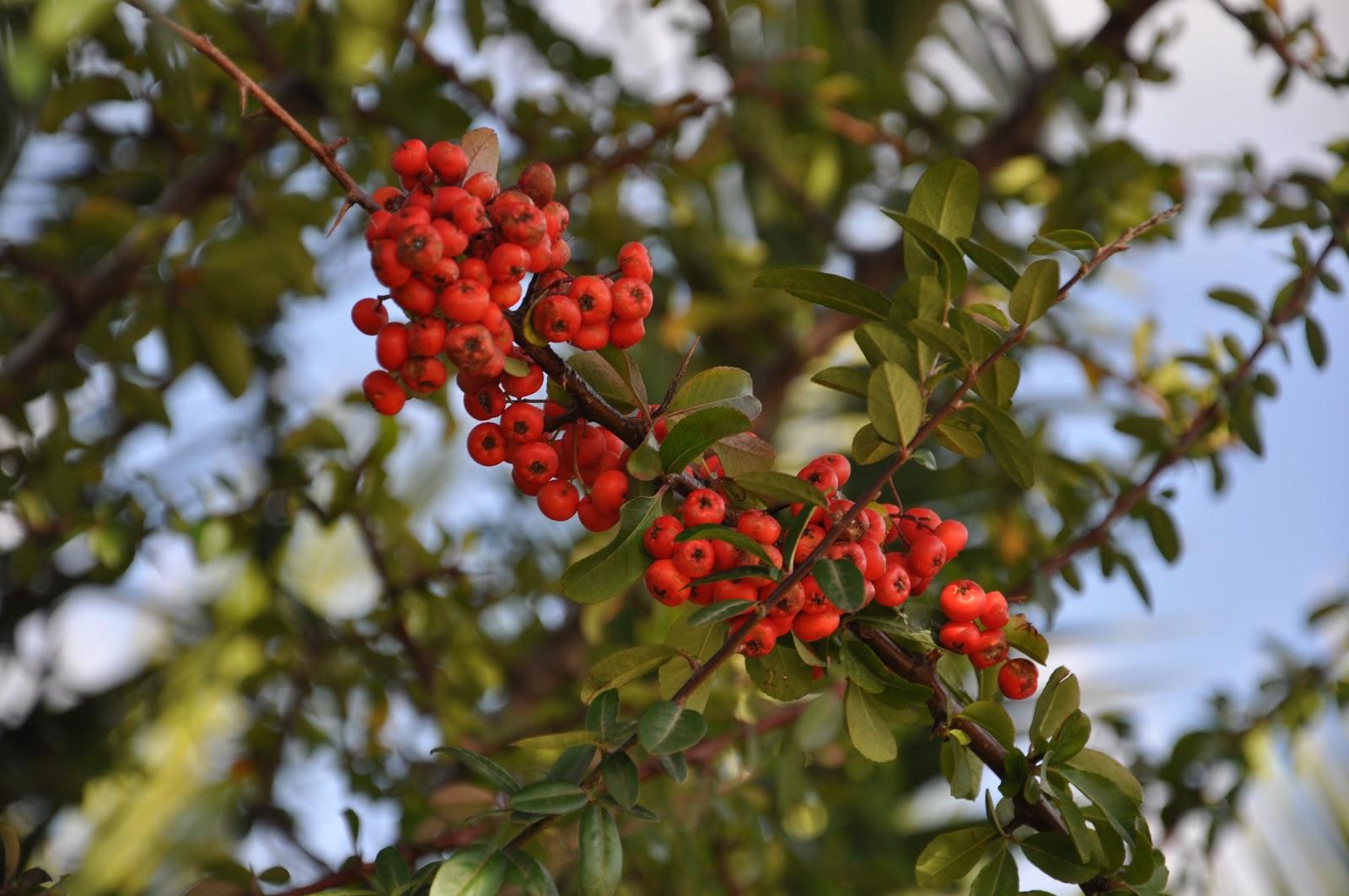 Cagliari in verde rosse bacche invernali for Arbusti ad alberello