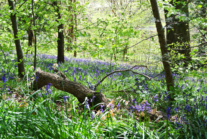 Bluebells in Pollok Country Park