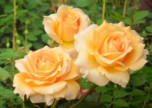 Sophia Renaissanse rose сорт розы фото