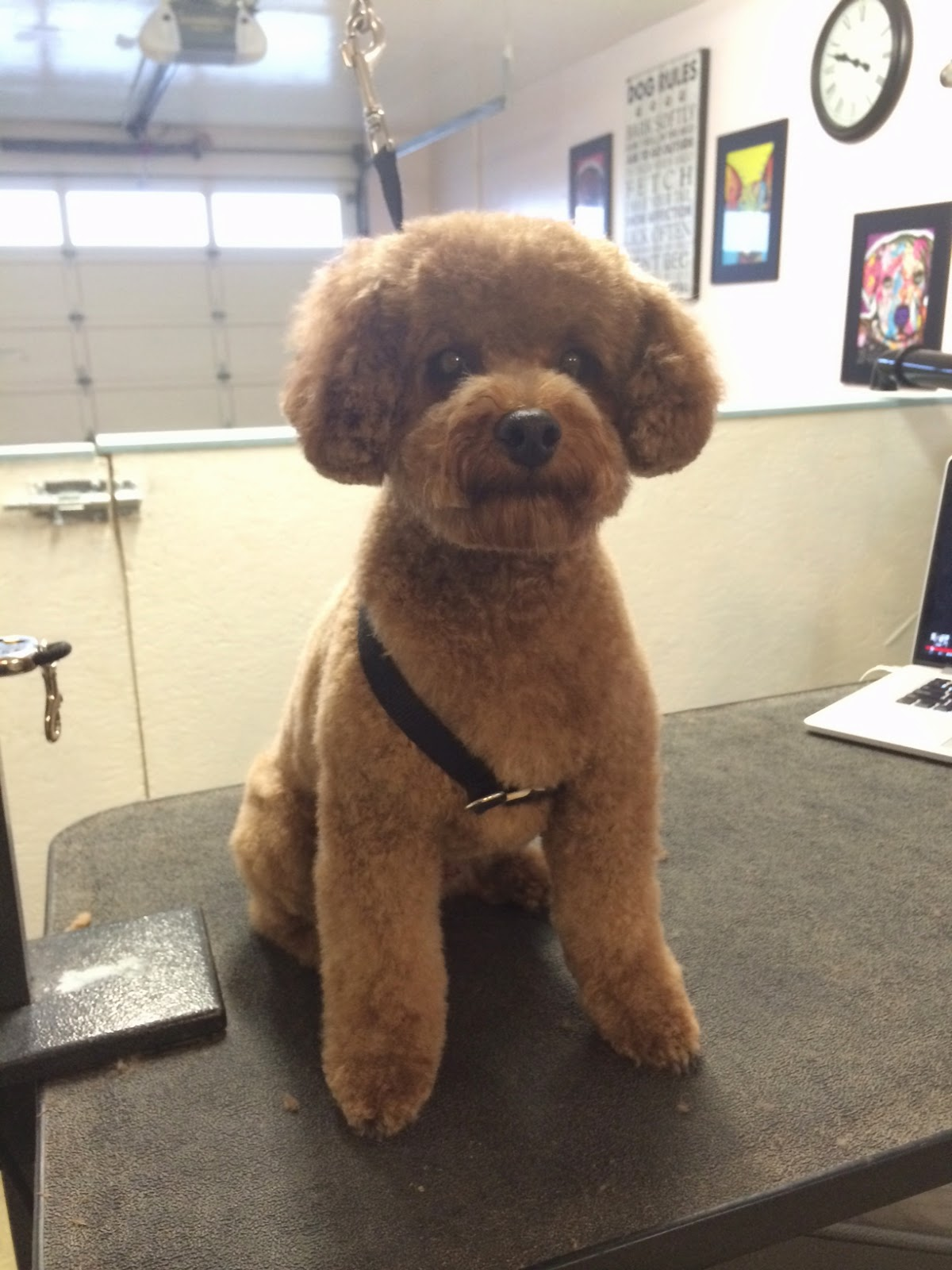 Is Toy Poodle Hairstyles Still Relevant Toy Poodle Hairstyles