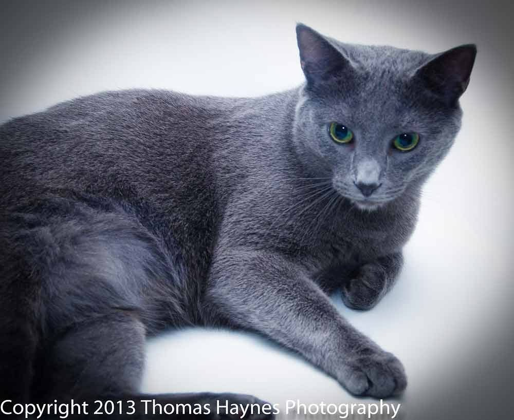 "Davie, from fall of 2013--rescued ""russian blue"" kitty."