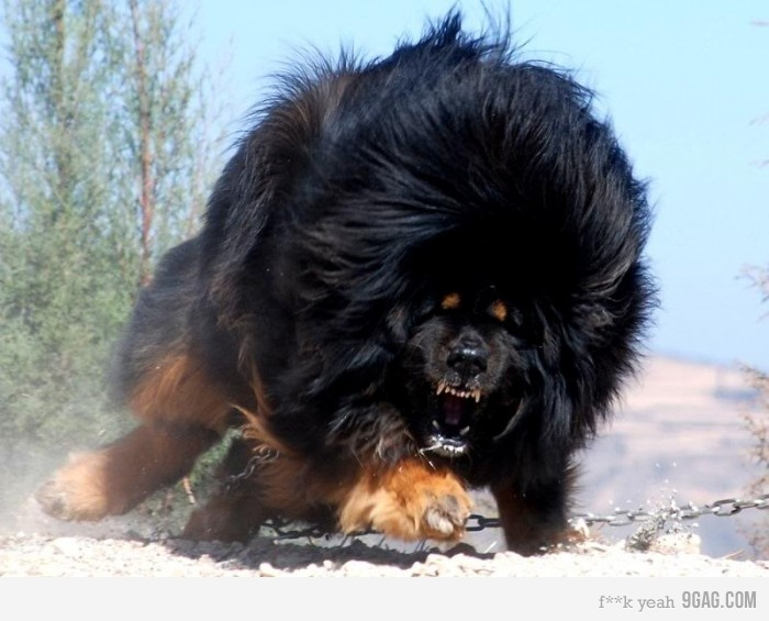 THE LION-DOG: TIBETAN MASTIFF- WORLD'S MOST EXPENSIVE DOG | King Raah ...